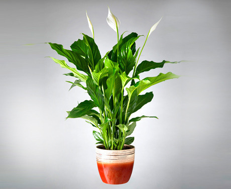 planta-de-holanda